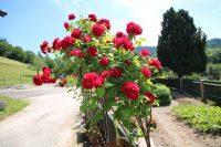 Rosen in unserem Bauerngarten